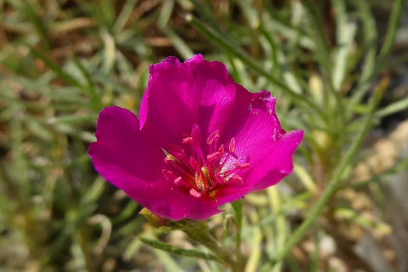 Lærkeurt  Purple Moon, Ruby Tuesday (Calandrinia umbellata)