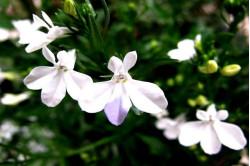 Lobelia Cascade White (Lobelia erinus pendula)