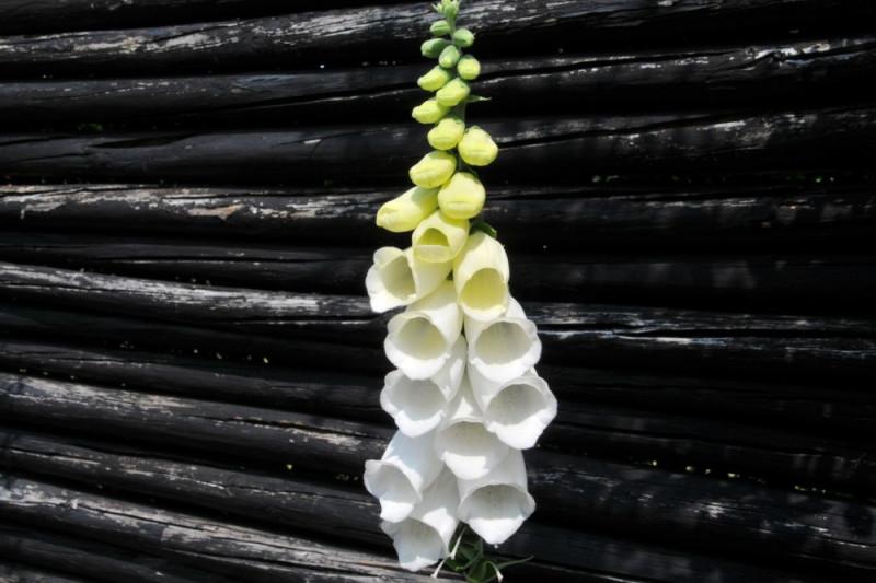 Fingerbøl, hvid (Digitalis mertonensis)