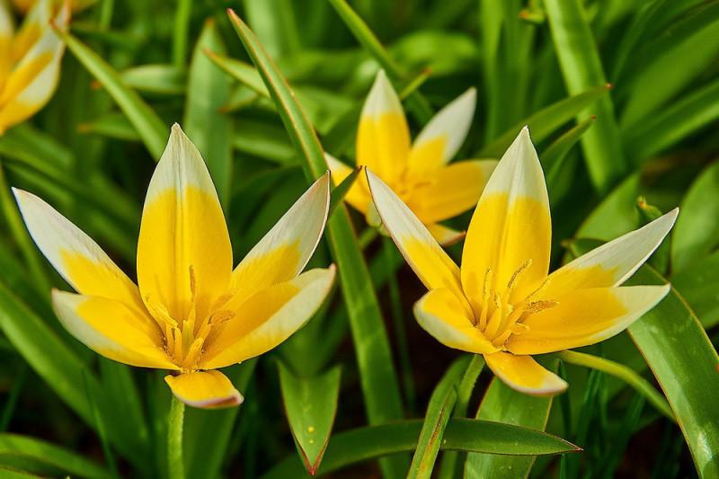 Tulipan tarda Yellow  (Tulipa sprengeri)