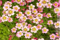 Mos-stenbræk - Floral...