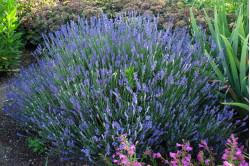 Lavendel Hidcote Blue...