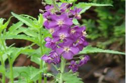 Kongelys Purple Mullien...