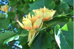 Tulipantræ (Liriodendron...