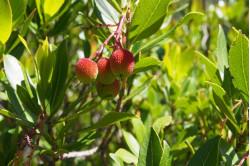 Jordbærtræ (Arbutus unedo)