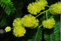 Sølvakasie (Acacia dealbata)