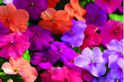 Flittiglise Safari bl. farver (Impatiens walleriana)