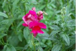 Løvemund - rød (antirrhinum...