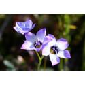 Gilia tre-farvet (Gilia tricolor)