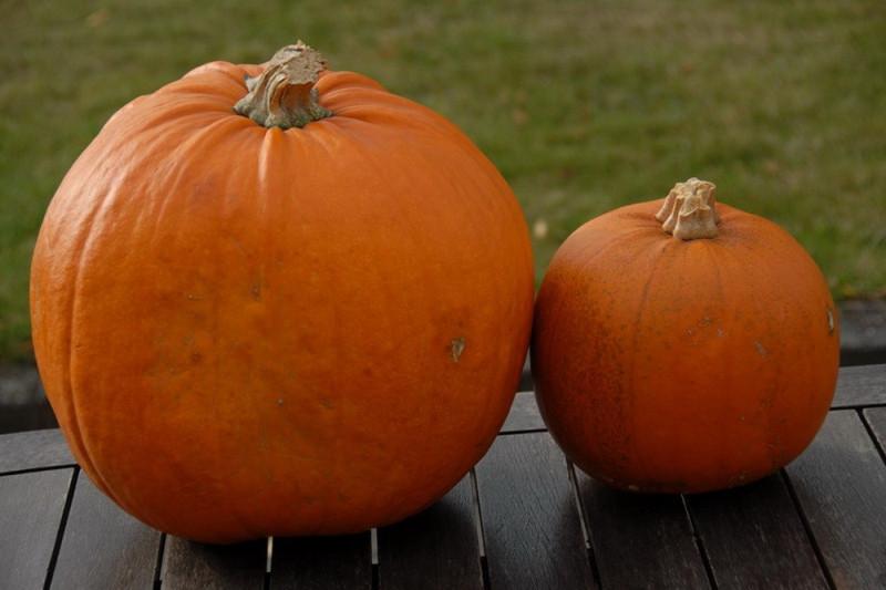 Halloween græskar (Cucurbita pepo)