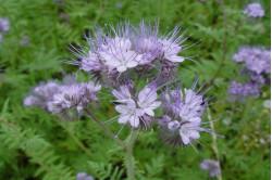 Honningurt (Phacelia tanacetifolia)