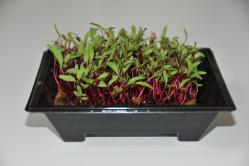 Rødbede - mikrogrønt (Beta...