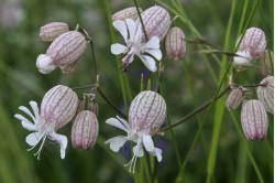 Blæresmelde (Silene vulgaris)