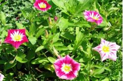 Jomfruskørt - bl. farver (Convolvulus Tricolor )