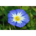 Jomfruskørt - bl. farver (Convolvulus Tricolor)