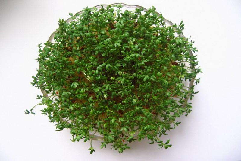 Karse (Lepidium sativum)