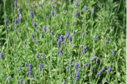 Lavendel - violet...