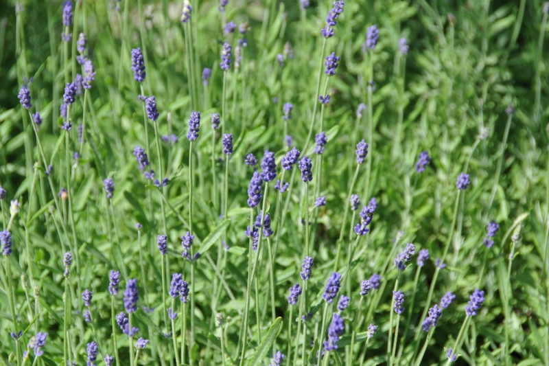 Lavendel - violet (Lavandula agustifolia)