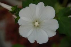 Mamelukærme - hvid (Lavatera trimestris)