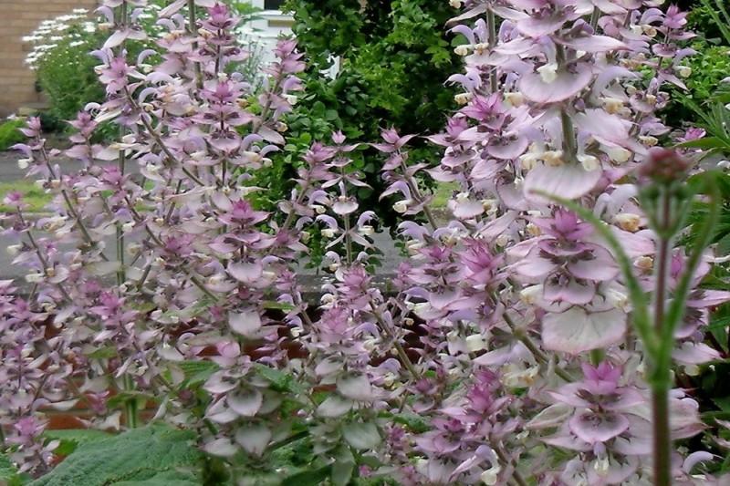 Muskatsalvie (Salvia sclarea)