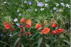 Natlys - orange blomster (Oenothera versicolor)