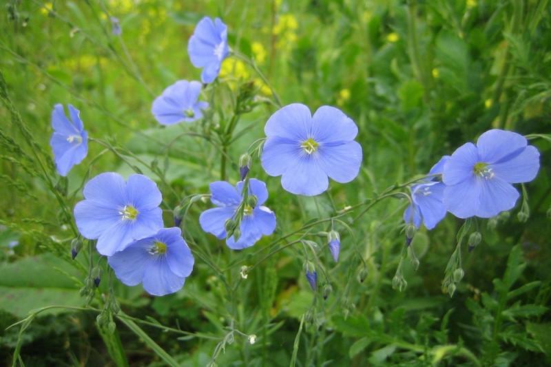 Oliehør - blå (Linum usitatissimum)