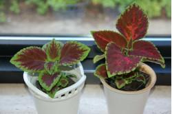 Paletblad (Solenostemon scutellarioides)