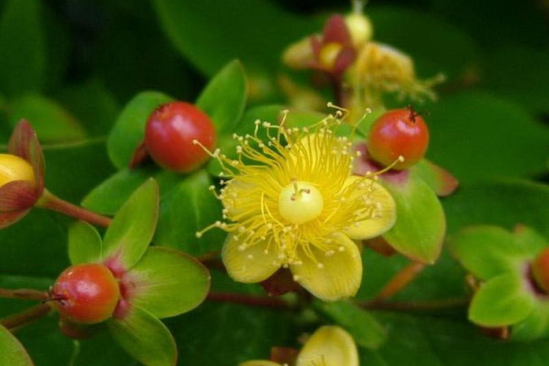 Perikon Loke Dafo (Hypericum hircinum)