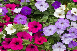 Petunia Colorama bl. farver (Multiflora)