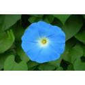 Pragtsnerle Heavenly Blue (Ipomoea nil)