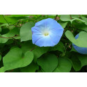 Pragtsnerle Heavenly Blue (Ipomoea nil)