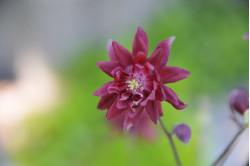 Akeleje - mørkerød (Mckana aquilegia caerulea)
