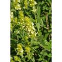 Sideritis hyssopifolia