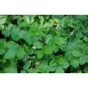 Skovjordbær (Fragaria vesca)