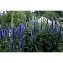Aks ærenspris (Veronica spicata ssp incana)