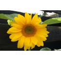 Solsikke - 100 gram  (Helianthus annuus)