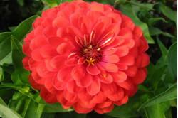 Zenia bl. farver (Zinnia...