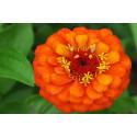 Zenia bl. farver (Zinnia angustifolia)