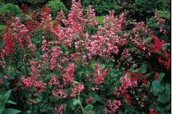 Alunrod bressingham (Heuchera)