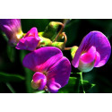 Ærteblomst Heirloom bl. farver (Lathyrus odoratus)