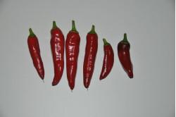 Chili Cayenetta (Capsicum annuum)