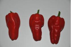Chili Tapas (Capsicum Annuum)