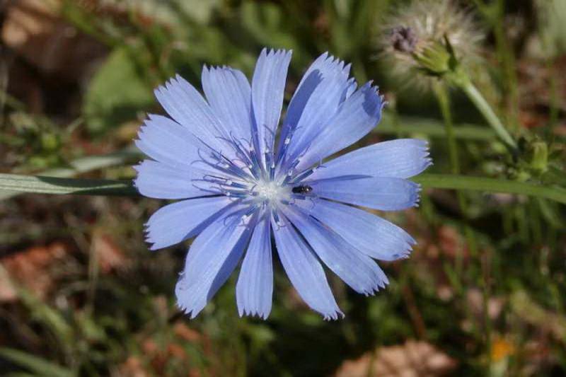 Cikorie (Cichorium intybus)