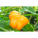 Chili Jamaican Hot Yellow (Capsicum Chinense)