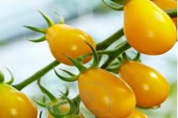 Cherrytomat Yellow Submarine (Solanum lycopersicum)