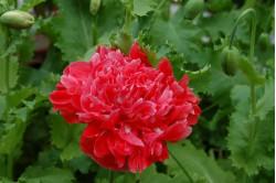 Pæonvalmue - rosa (Papaver paeoniflorum)