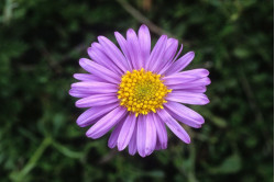 Asters Alpine bl. farver...