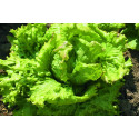 Iceberg salat (Lettuce Iceberg)