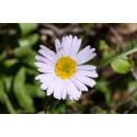 Asters Alpine bl. farver (Aster alpinus)