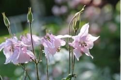 Akeleje - bl. farver (Mckana aquilegia caerulea)